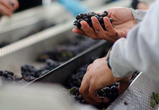 grapeSortingOurWinemaking
