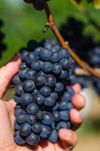 Estate Pinot Noir Cluster