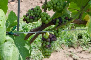 Veraison on Pinot Noir